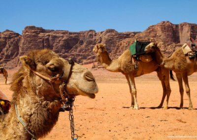 dromedari-nel-deserto